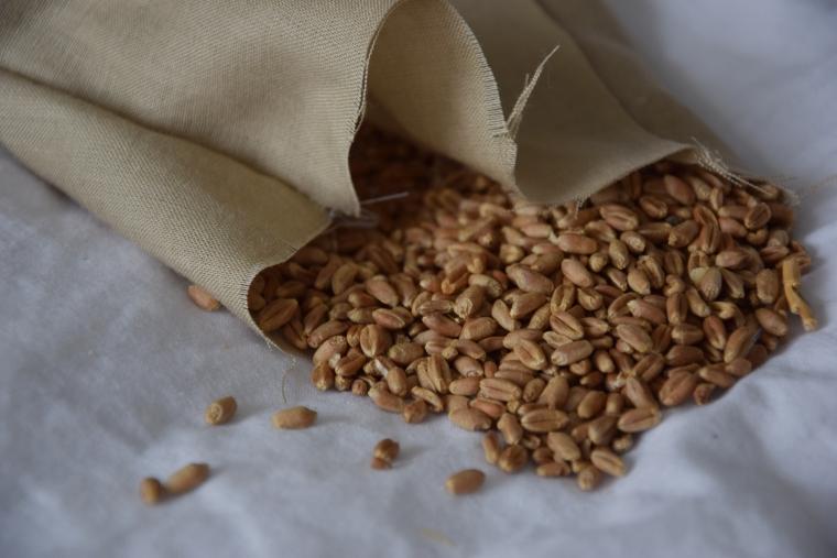 pšeničná zrnka