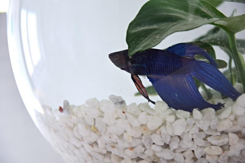 male-akvarium-pro-rybicky-rybka-beta-bojovnice-6